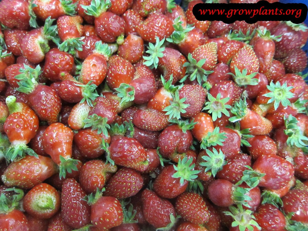 Alpine strawberry fruits