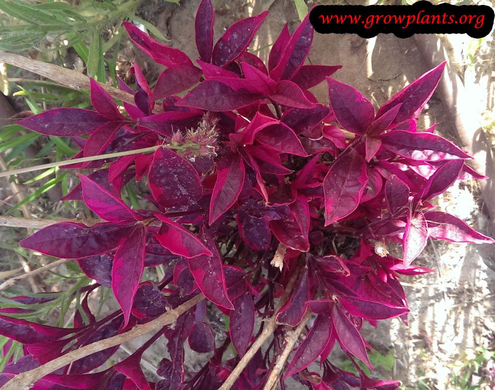 Alternanthera ficoidea plant