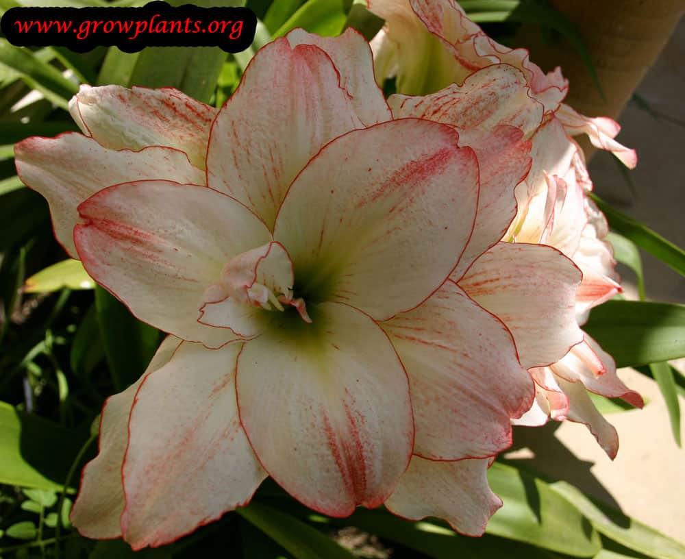 Aphrodite Amaryllis flowers