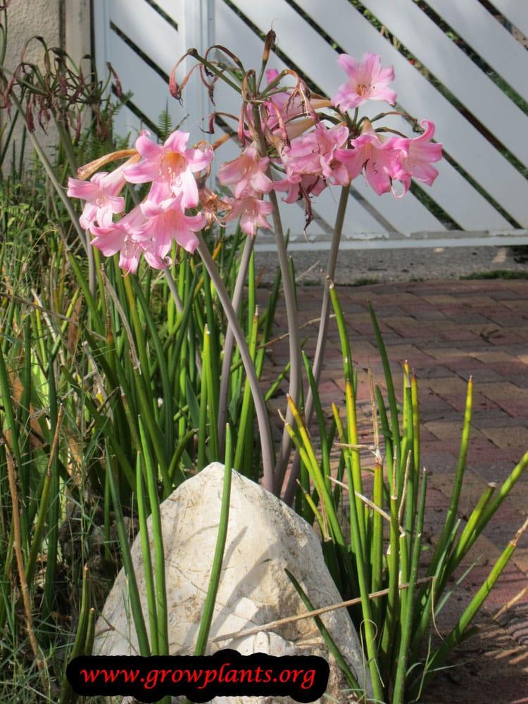 Amaryllis belladonna plant