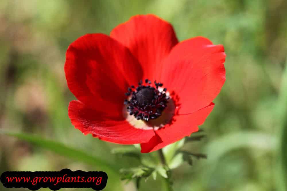 Anemone coronaria red flower