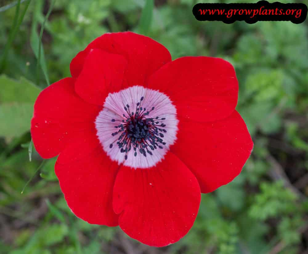Poppy anemone red flower