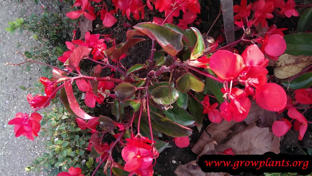 Angel wing begonia flower