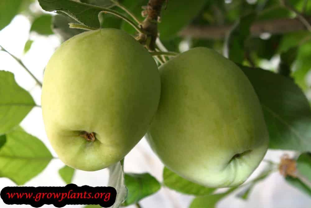 Anna Apple fruits
