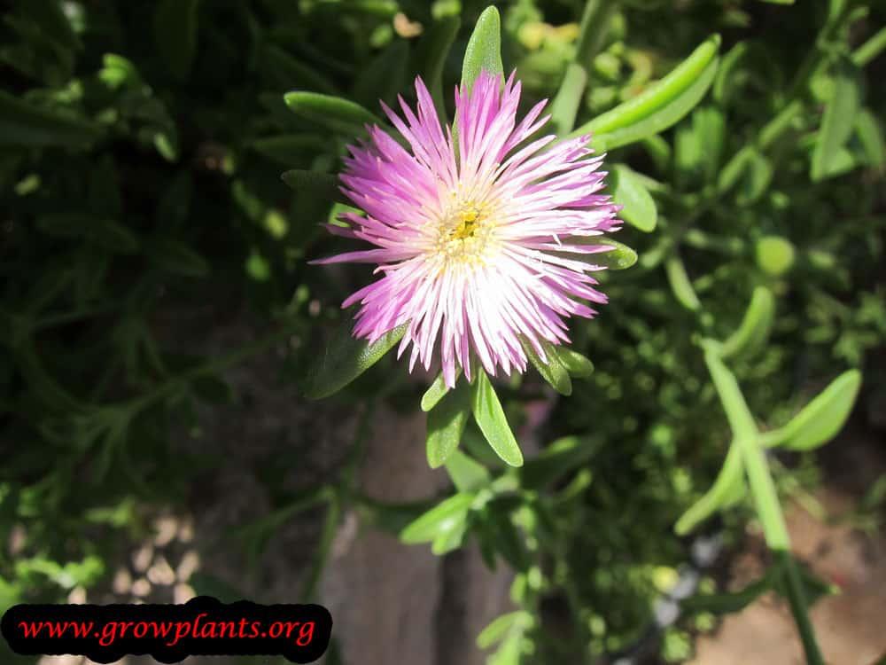 Aptenia cordifolia plant