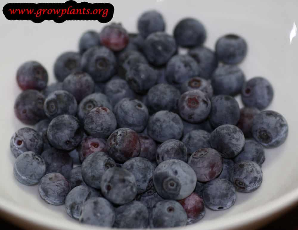 Bilberry fruits