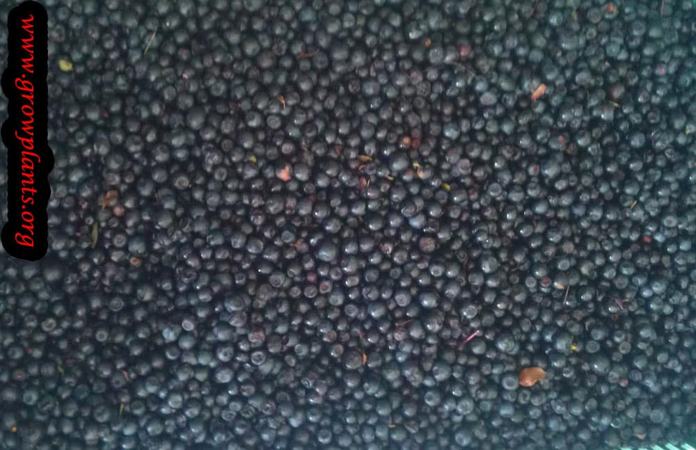 Bilberry care