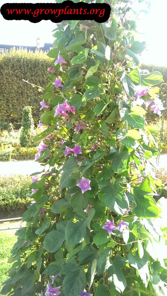 Ipomoea indica plant