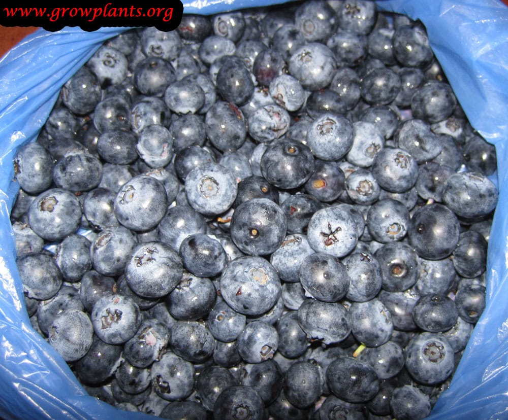 Blueberry plant fruits