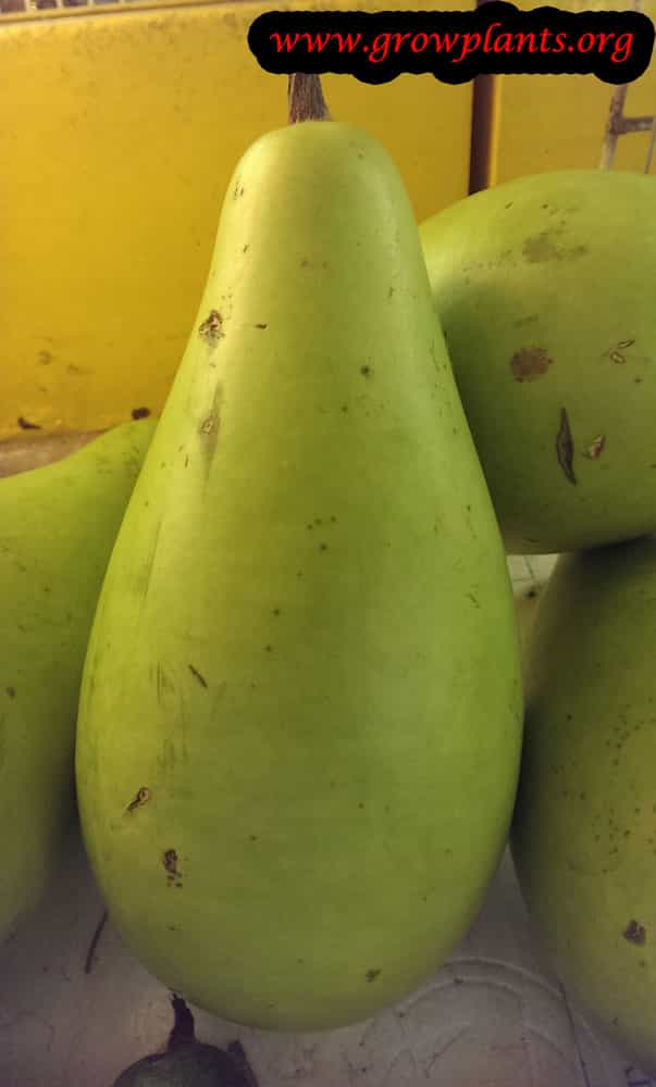 Bottle gourd fruits