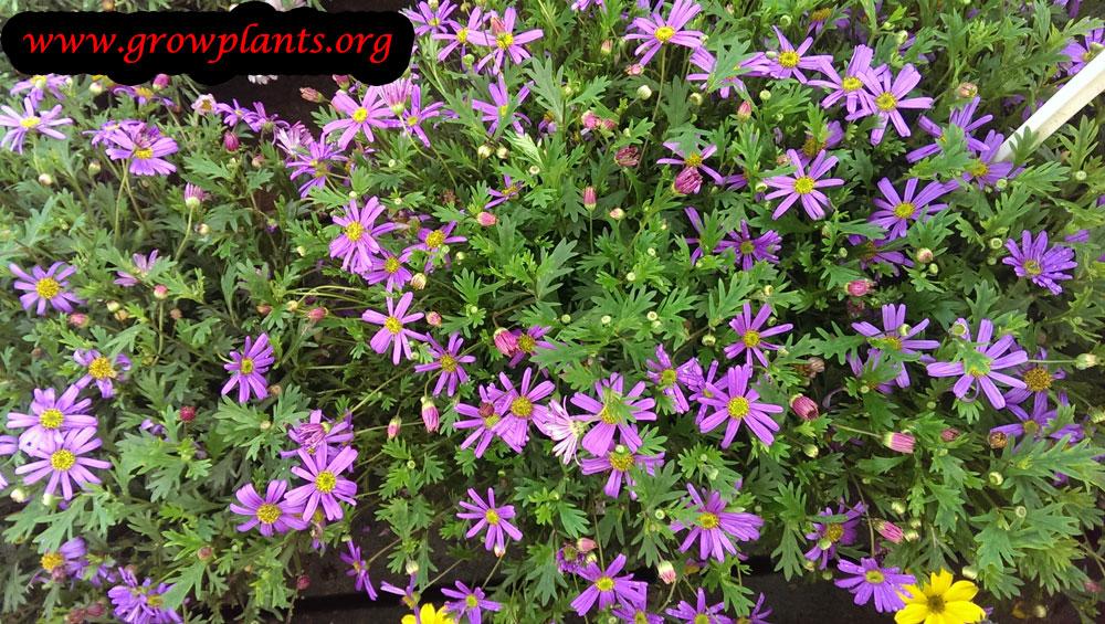 Brachyscome multifida plant