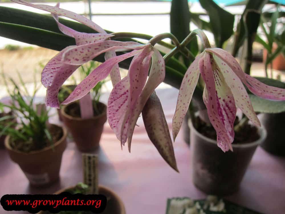 Brassocattleya Maikai plant