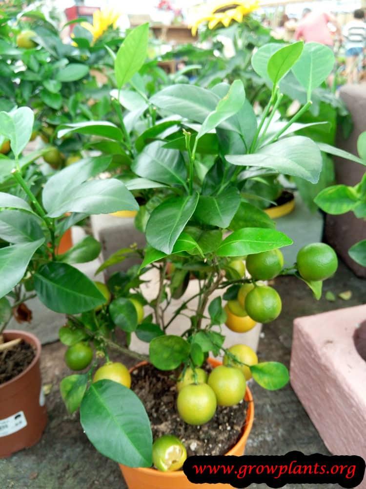 Calamansi plant care