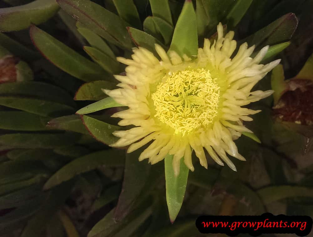 Carpobrotus edulis plant care