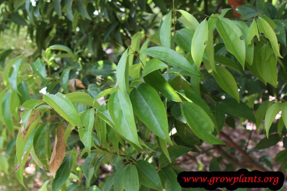 Harvest Cinnamon leaves