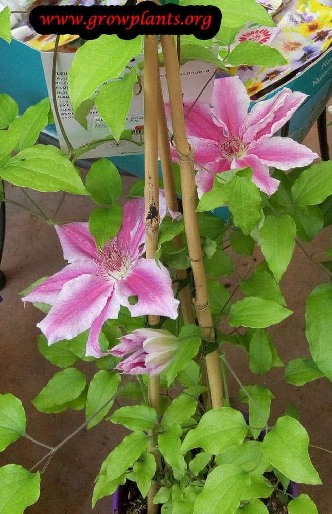 Growing Clematis plant