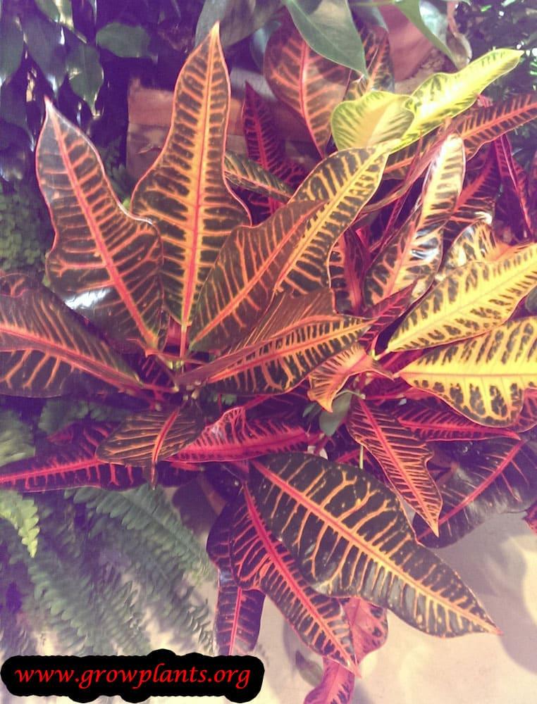 Codiaeum variegatum grow