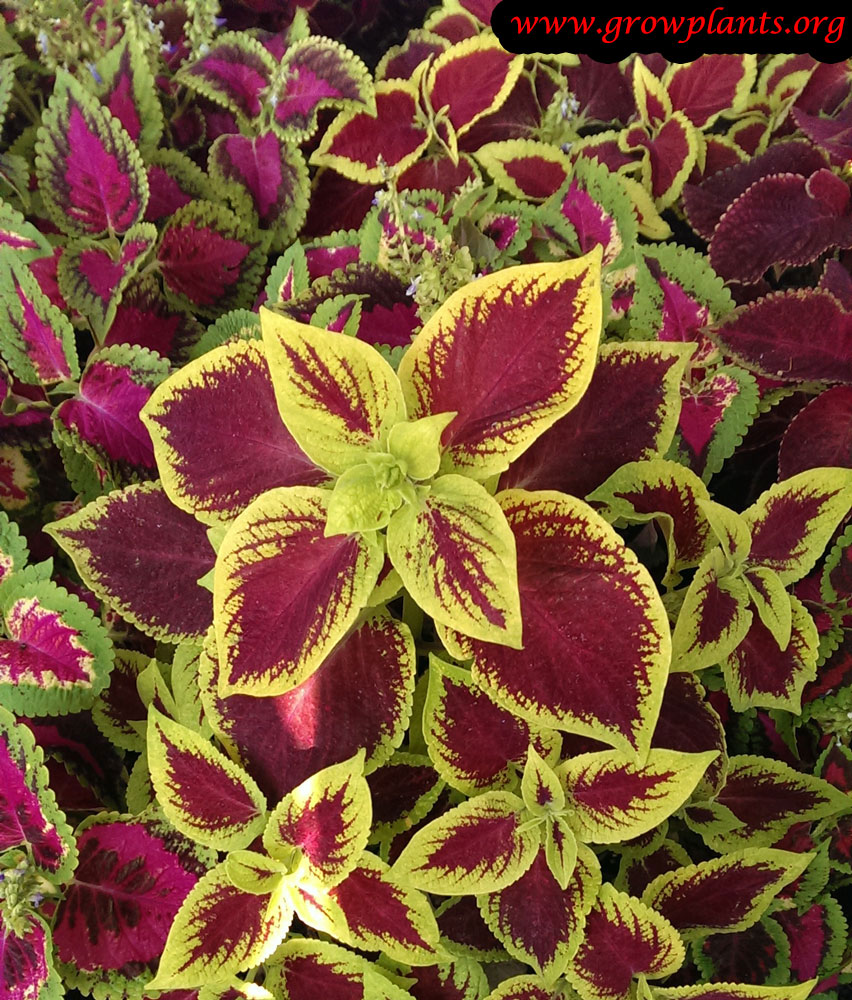 Coleus plant yellow and red leaves