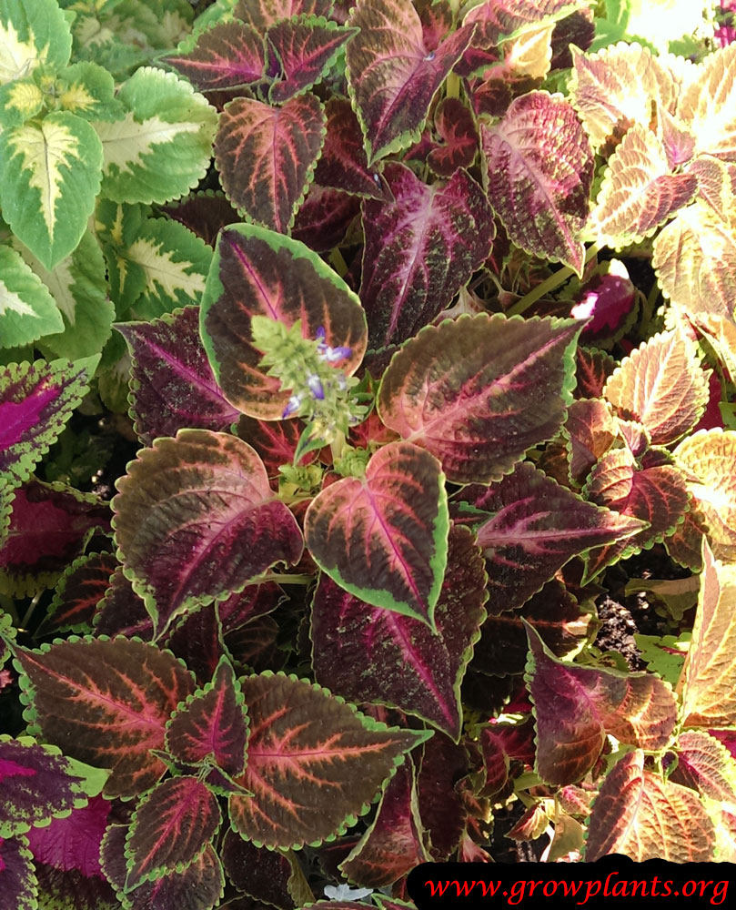 Coleus plant grow and care