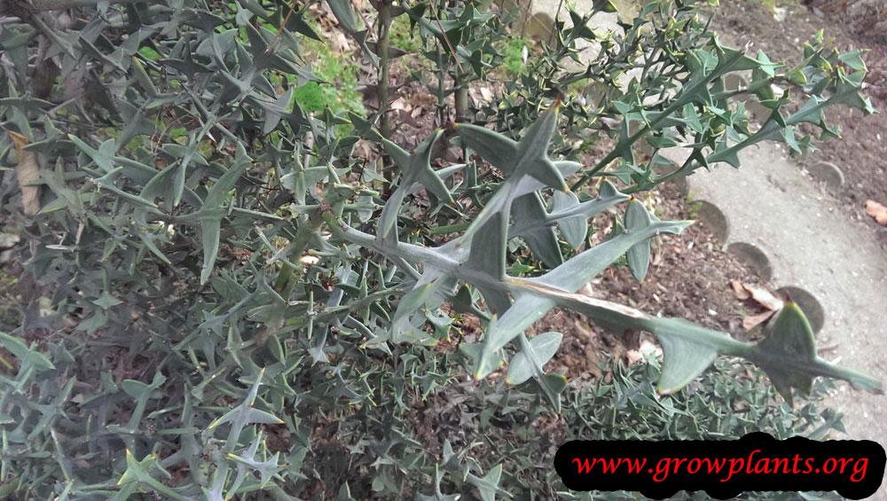 Colletia paradoxa plant care