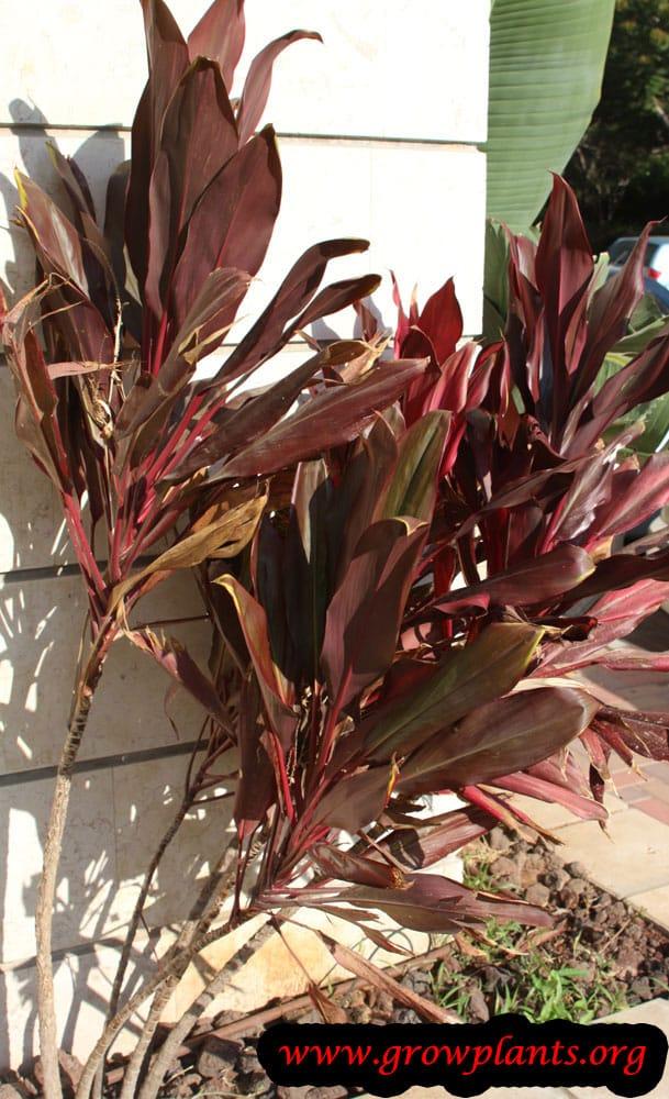 Cordyline fruticosa plant