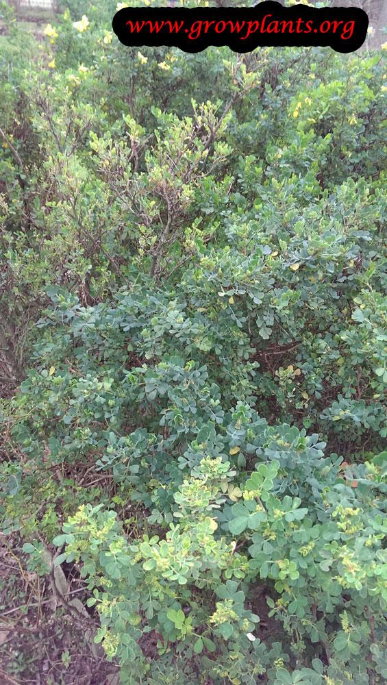 Coronilla valentina plant