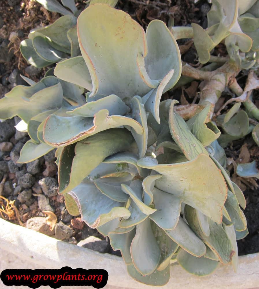 Growing Crassula arborescens