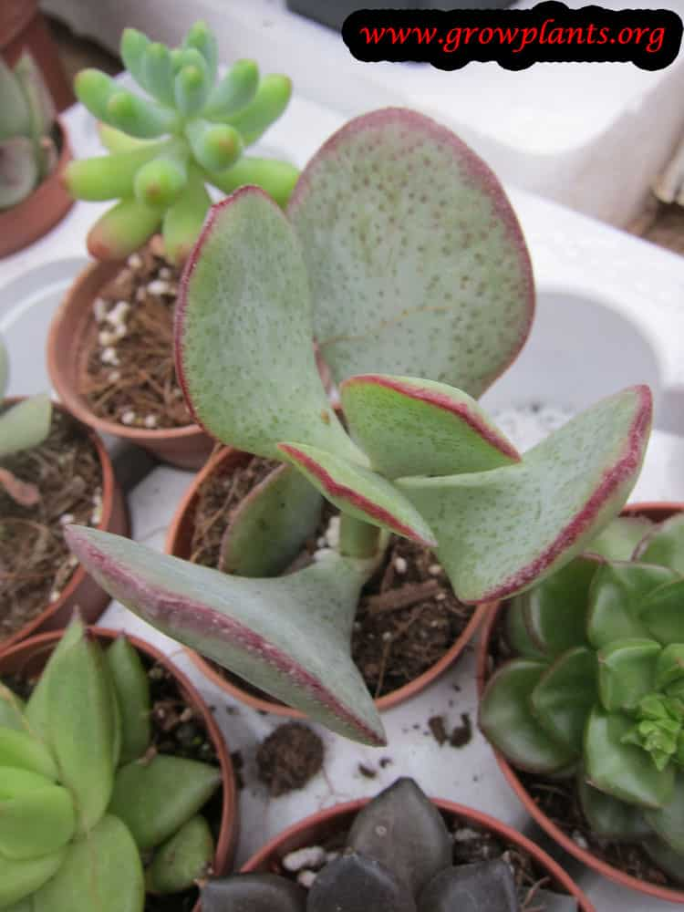 Crassula arborescens leaves