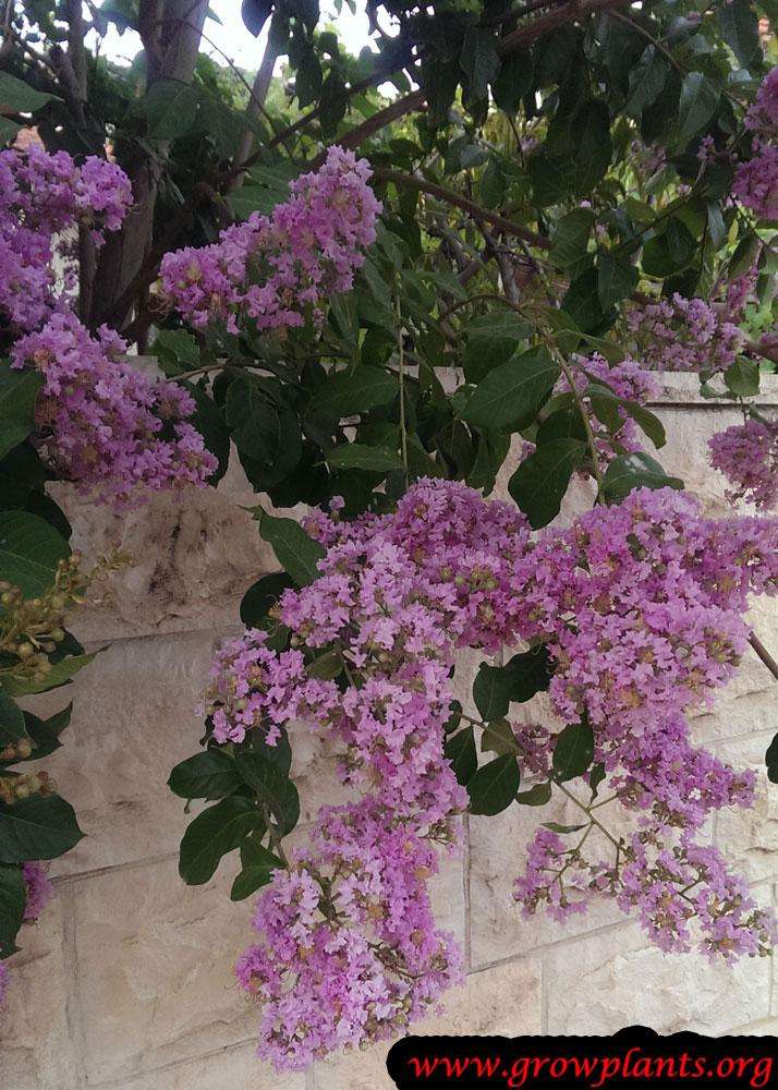 Growing Crepe myrtle tree