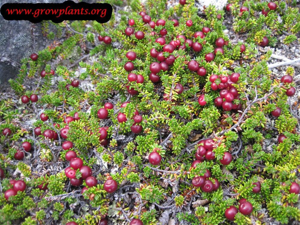 Crowberry plant