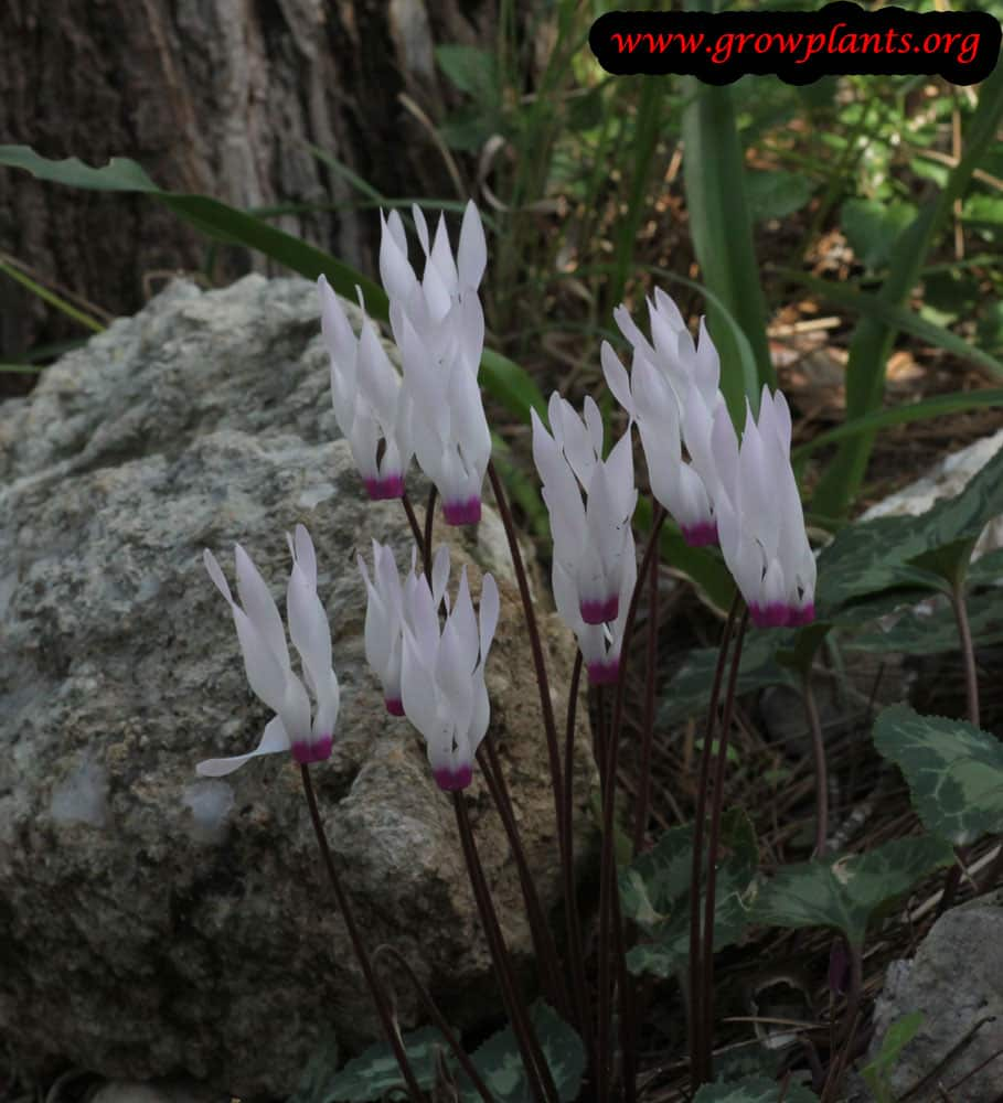 Cyclamen persicum white flowers