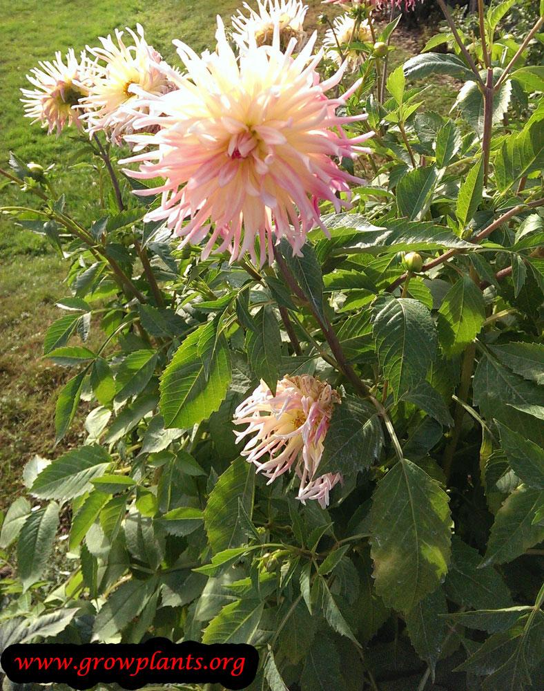 Growing Dahlia beauty flower