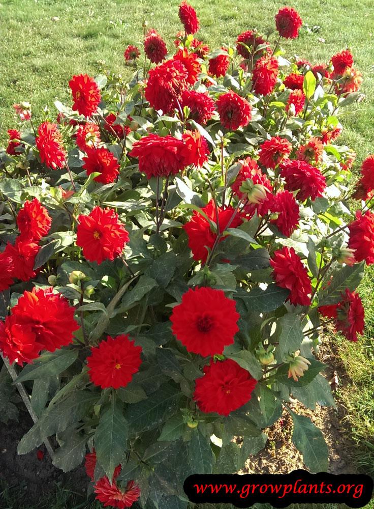 Dahlia plant care