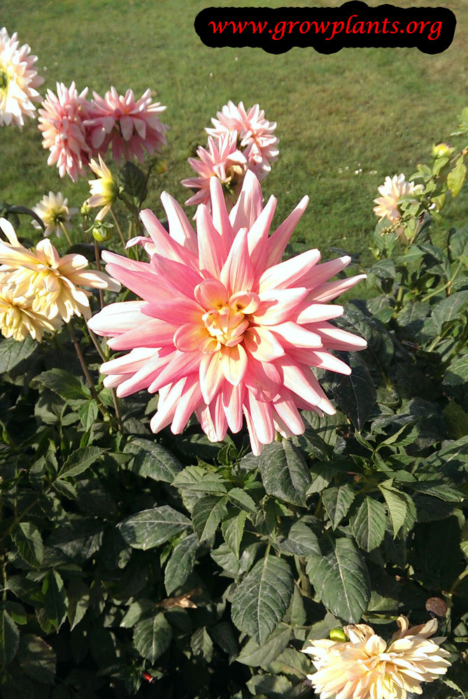 Growing Dahlia bel amour