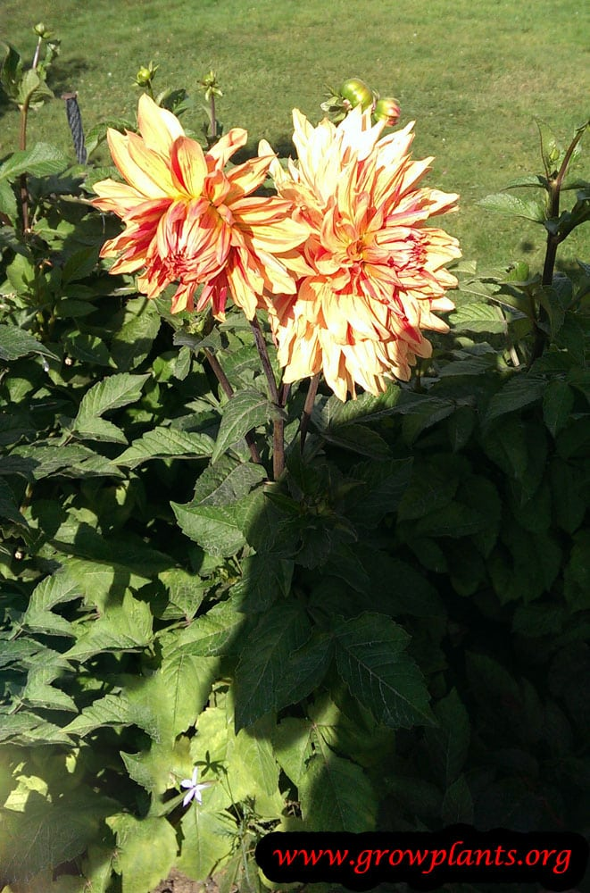 Dahlia clown plant care