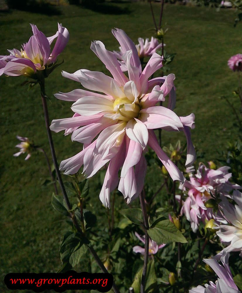 Dahlia jean maigret plant care