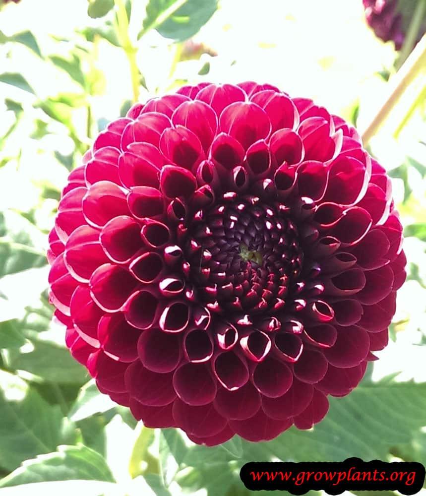Dahlia pompon flower