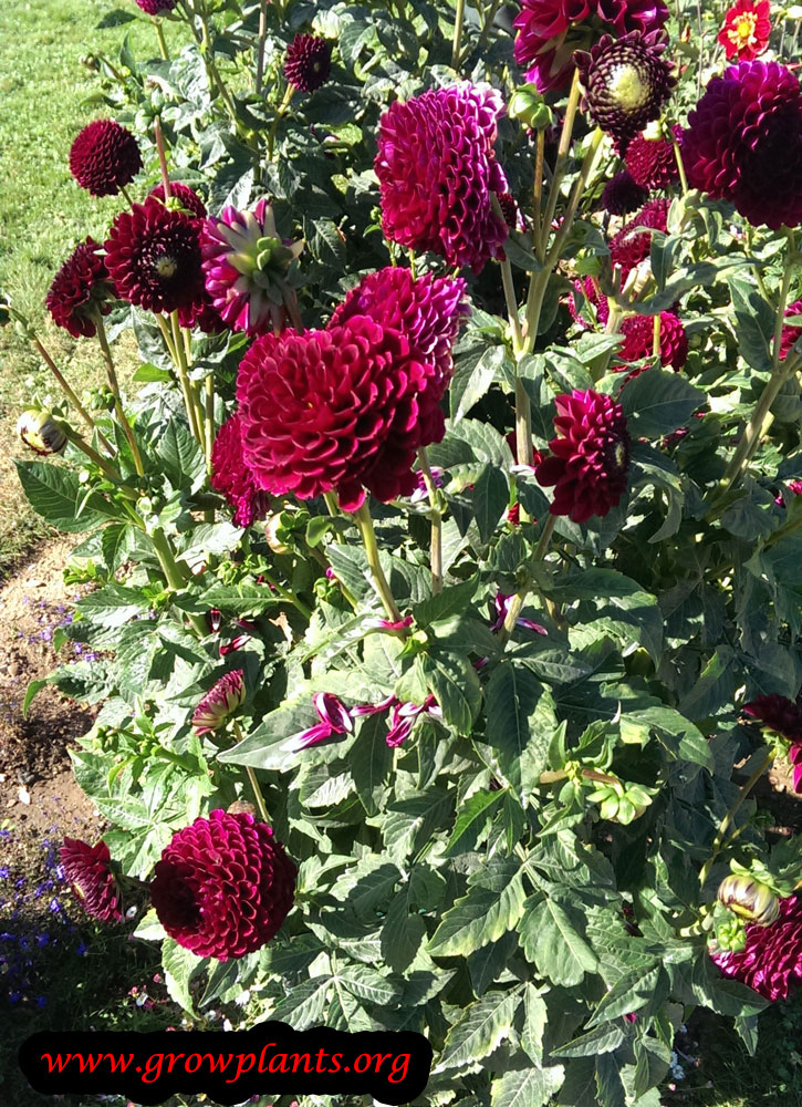 Growing Dahlia pompon plant