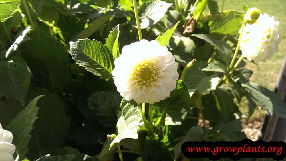 Dahlia pompon white flower