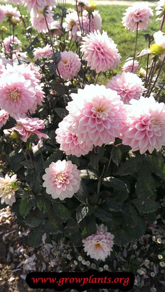 Growing Dahlia rose des sables