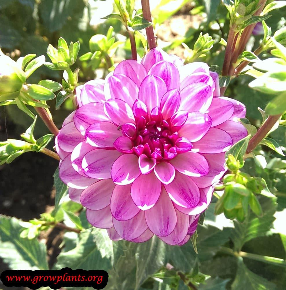 Dahlia seduction plant care