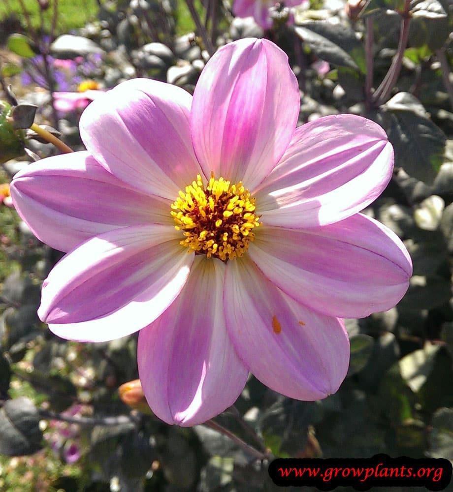 Dahlia single flower pink flower