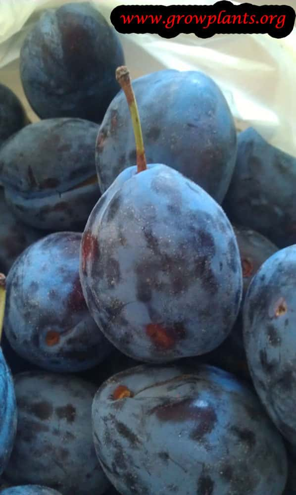Damson plum fruits