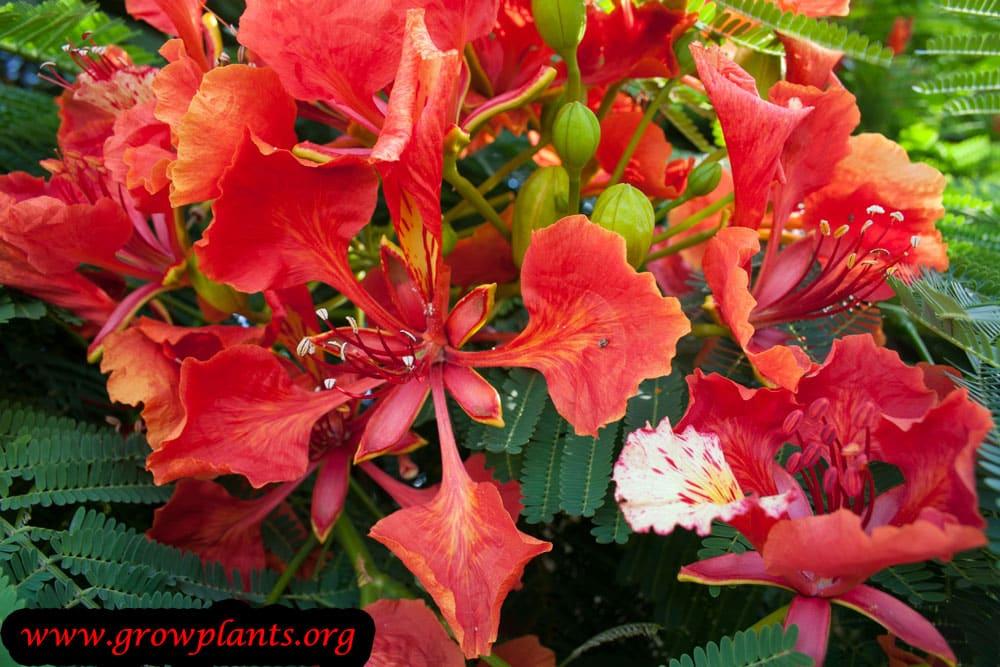 Growing Delonix regia flowers