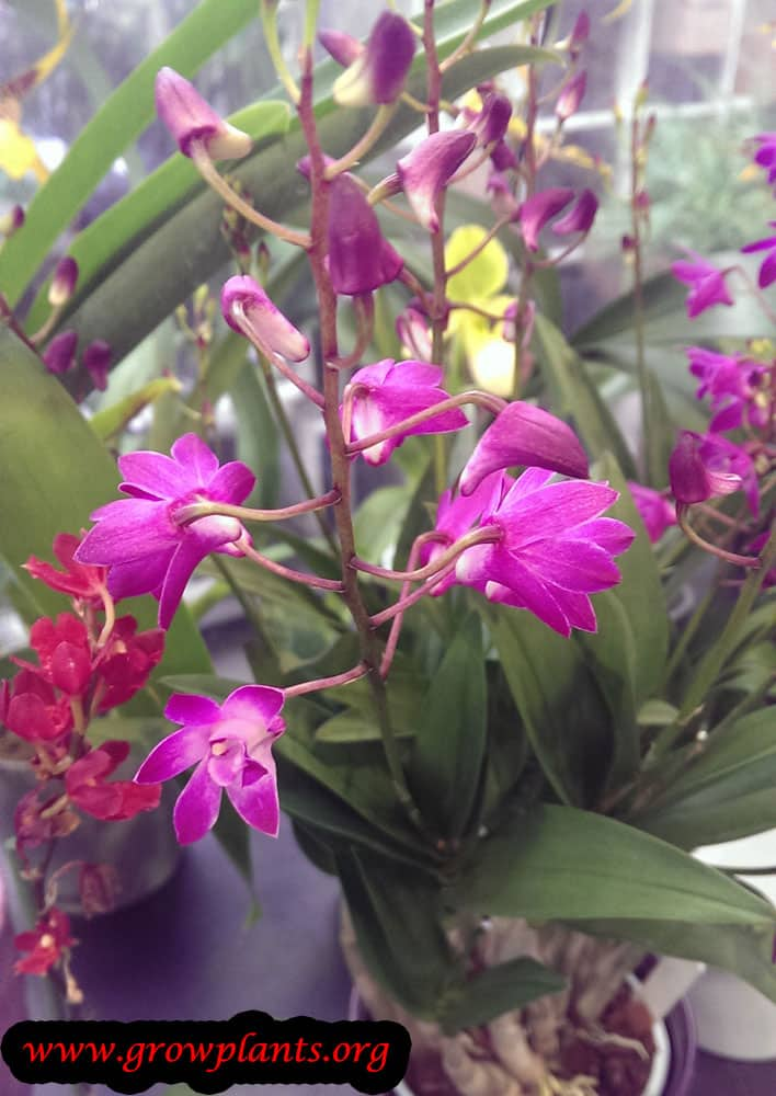 Growing Dendrobium