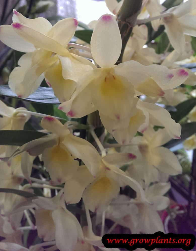 Dendrobium flowers orchid