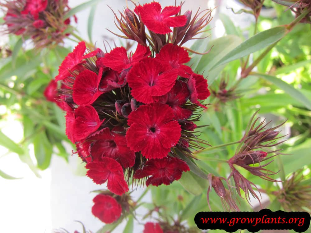 Dianthus barbatus plant care