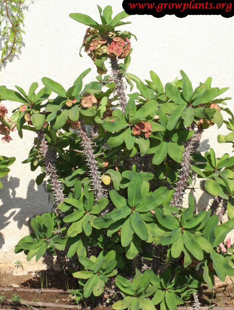 Euphorbia milii plant care
