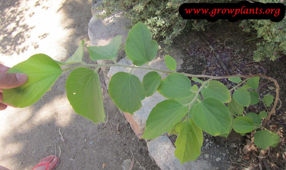 Growing Falsa from seeds