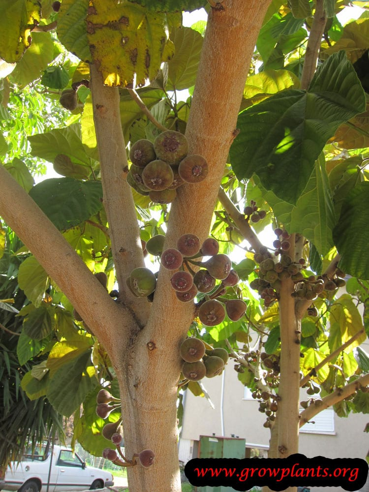 Harvesting Ficus auriculata fruits